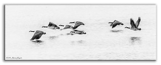 Goose emotion - Geese in motion [Explored]