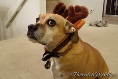 December 15, 2016 - Ellie does not seem to care for her reindeer ears. (ThorntonWeather.com)