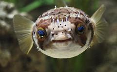 Say Cheese  :) (Jacko 999) Tags: roberteede canon eos 5d mark iii pufferfish cute smile ef85mm f12l ii usm fish blue reef aquarium hastings coast