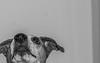 D75_5675.jpg (phil_tonic) Tags: dog animal hund ferddy jackrussell terrier blackandwhite action shot food hunter