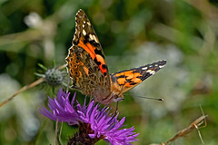 Vanessa cardui - the Painted Lady (BugsAlive) Tags: butterfly butterflies mariposa papillon farfalla schmetterling бабочка animal outdoor insects insect lepidoptera macro nature nymphalidae vanessacardui paintedlady nymphalinae wildlife wiltshire liveinsects uk