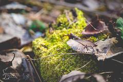 Shrouded Beauty (1 of 1) (amndcook) Tags: michigan outdoors amandacook leaves log macro moss nature photo photograph season seedpod spiritledphotography walk weed wildlife winter