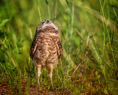 Don't Believe Me Just Watch (Kathy Macpherson Baca) Tags: animal animals bird birds owl burrowingowl raptor florida grass ave aves predator feathers fly hunt claws ground nature wildlife world planet earth