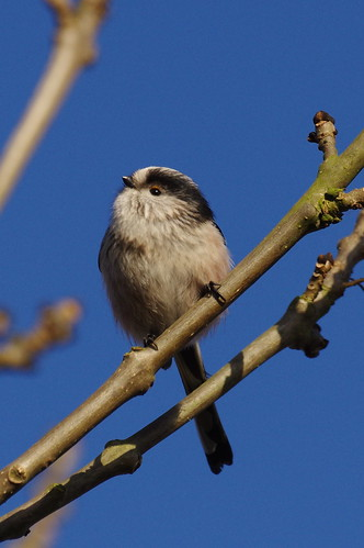 IMGP2420 Long-tailed Tit,  Fen Drayton Lakes, December 2016