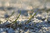 glitzernd - sparkling (nirak68) Tags: lübeck schleswigholsteinkreisfreiehansestadtlübeck deutschland ger gras hagel frost raureif winter 2017ckarinslinsede flickrfriday sparkling glitzernd rime 005365