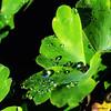 Perles de rosée sur une feuille d'ancolie (didier95) Tags: perlesderosée gouttedeau goutte feuille vert macro rosee rosée vegetal vegetaux