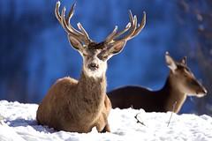 Winter Wildpark (Patrick Semmler) Tags: feldkirch snow sigma150600mmsport deer alps austria