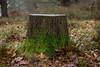 Cut short. (macal1961) Tags: tree stump cut felled dead life moss vivid colour winter decay fallen nature leica