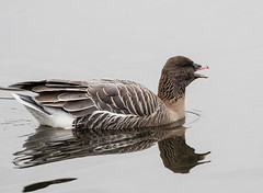 Pink-footed Goose (Laura Erickson) Tags: nassaucounty anatidae birds newyork pinkfootedgoose arthurjhendricksonpark species places anseriformes anserbrachyrhynchus