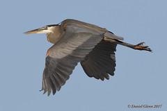Fly heron, fly! (danielusescanon) Tags: wild bif flying blue sky greatblueheron ardeaherodias pelecaniformes ardeidae huntleymeadowspark virginia birdperfect