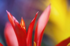 Ornamental pineapple. (Eddy Tsai) Tags: 景深 背景虛化 明亮 花 戶外 植物 viola 微距 花朵 花園 flower garden taiwan bokeh vivid color colours macro 花蕊 鮮豔 雌蕊 開花 campanula 艷麗
