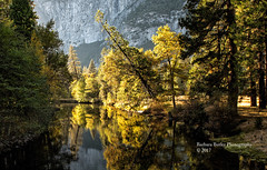 Yosemite Gold (RedHatGal: Barbara Butler/FireCreek Photography) Tags: yosemite valley yosemitenationalpark mercedriver fallcolor mountains trees reflection water outdoor landscape barbarabutlerphotogrpahy firecreekphotogrpahy redhatgal