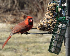 Male Cardinal, Song Bird Seed Cake Bell, and Suet IMG_6944 (Ted_Roger_Karson) Tags: canonpowershotsx700hs 30xzoom canon powershot sx280 hs northern illinois back yard friends backyard animals birds bird feeder seed cake suet miniature compact pocket camera telephoto thisisexcellent twop test photo hand held handheldcamera minicompactdigitalpocketcamera cardinal woodpecker