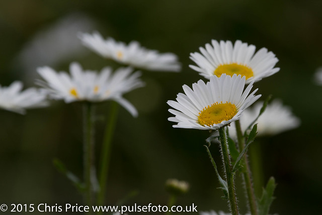 Daisies at Arundel WWT