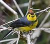 Collared Redstart (golforchid) Tags: costarica endemic collaredredstart myioborustorquatus amigodehombre suenosdelbosque