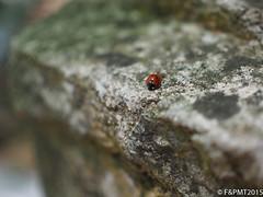 200/365: Ladybird (unfocus2012) Tags: closeup pen bug insect bokeh cyprus olympus depthoffield ladybird shallowdepthoffield kalopanayiotis epl6 olympus25mm18
