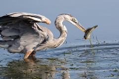 Rubino Great Blue Heron fishing 20150719 San Diego River Channel Robb Field San Diego CA 453-2 (Ryan Rubino) Tags: ca blue fish heron river fishing san great diego ardea channel herodias swallowing