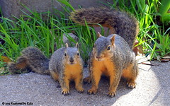 Separation Anxiety Part 5 (Kaptured by Kala) Tags: baby nature concrete mother sidewalk motherandbaby babysquirrel separationanxiety foxsquirrel garlandtexas foxsquirrels mothersquirrel
