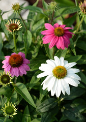 DSC_9773 (haot) Tags: plant flower macro nikon outdoor farm lexington july wilson tamron 2015 d610 90mmm