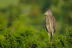 Juvenile Yellow Crowned Night Heron (Mark Schwall) Tags: green bird birds newjersey nikon bokeh nj juvenile manualfocus fledgling rookery southernnewjersey yellowcrownednightheron nyctanassaviolacea wadingbirds wadingbird heronry d300s nikkor600mmf4ais