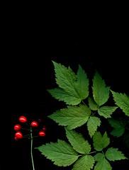 56768.01 Actaea rubra (horticultural art) Tags: botanical berries wildflower baneberry actaearubra actaea horticulturalart