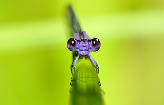 Violet Dancer damselfly close-up