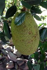Yelapa: Jackfruit (wallyg) Tags: cabocorrientes fruit jackfruit jacktree jakfruit méxico mexico yelapa jalisco