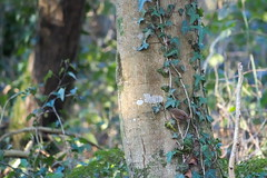 Wren - Troglodyte mignon (ghr.photographies) Tags: birds tit mésange wren troglodyte mignon cute roitelet walk wood passereau