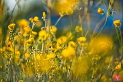 Summer time madness (Kasia Sokulska (KasiaBasic)) Tags: fujix canada alberta elkislandnp summer light nature flower abstract buttercups macro