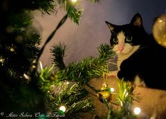 Ilusión. (Inushin) Tags: gato cat christmas navidad adornos ball bolas árbol tree nikon d5200 nikond5200 diciembre december
