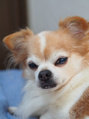 ピノ2017-01-23 13.49.55 (やんちゃなちわわ) Tags: ピノ pino 犬 dog チワワ chihuahua