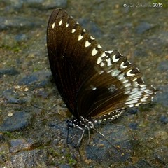 Malabar raven (LPJC) Tags: d11 kerala india 2015 lpjc malabarraven butterfly endemic