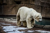 Polar Bear (mraarondouglas) Tags: polar bear bears artic antartica winter cold cool snow ice big white paws claws milwaukee county zoo zoos water blue rocks exhibit canon rebel t5 1200d image phot photo photography wisconsin wi illinois chicago il