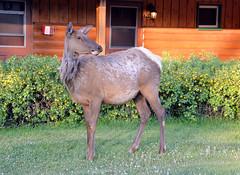 Caribou_Jasper Resort_DSC_2986_2_D (renrut01) Tags: caribou grazing jasper resort morning lawns canada