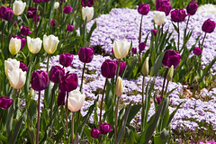 Balmy Breath of Spring (d.cobb56) Tags: pink purple groundcover spring tulip tulips garden gardening nature season seasons