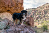 Wet Desert Rat (jayvan) Tags: dash aussie australianshepherd dog hike happy posed peraltatrail phoenix arizona rock sage cactus canyon sky clouds sony landscape