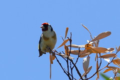 European Goldfinch (Rodger1943) Tags: finches europeangoldfinch fz1000 chardonneret élégant