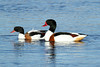 Tadorna tadorna ♀ ♂ (Shelduck-pair) - Guernsey CI (Nick Dean1) Tags: tadornatadorna shelduck waterfowl dabblingduck thewonderfulworldofbirds birdperfect birdwatcher duck ducks guernsey channelislands greatbritain anseriformes