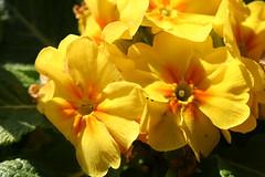 03-IMG_3403 (hemingwayfoto) Tags: balkon blühen blüte blütenstempel blume botanik flora frühblüher frühling garten gartenblume gelb gewächs macro natur pflanze primel primula schlüsselblume topfblume züchtung zierpflanze