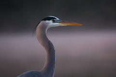 Morning Portrait (gseloff) Tags: greatblueheron bird wildlife dawn fog mist armandbayou pasadena texas kayakphotography gseloff