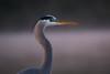 Morning Portrait (gseloff) Tags: greatblueheron bird wildlife dawn fog mist armandbayou pasadena texas kayakphotography gseloff