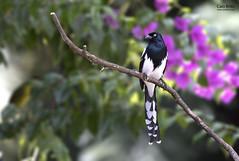 Magpie Tanager (Cissopis leverianus) - Tapiraí-SP