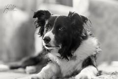 Tess. (AnthonyCNeill) Tags: bordercollie blackwhite dog perro hund pet indoor nikon d750 animal portrait bokeh monochrome blackandwhite blancaynegra