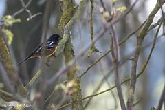 _DSC0601.jpg (susanm53@verizon.net) Tags: bird california outdoor spottedtowhee tuolumneriver nature