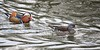 A pair of Mandarin Ducks (Aix galericulata) (Jeff G Photo - 2m+ views! - jeffgphoto@outlook.com) Tags: aixgalericulata mandarinduck duck ducks waterfowl water lake