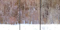 Aspen Woods (Karen McQuilkin) Tags: aspen woods winter magic snow ski snowbasin theawardtree