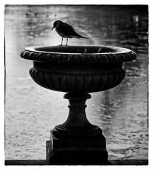 Considering Options (MrBlueSky*) Tags: seagull bird animal kewgardens kingdomanimalia london outdoor nature aquatic ngc monochrome blackandwhite urn pentax pentaxk1 pentaxart pentaxlife pentaxawards aficionados water