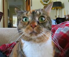 The Many Faces of Gracie #4 (19 January 2017) 3261Rif 5x6 (edgarandron - Busy!) Tags: gracie patchedtabby cat cats kitty kitties tabby tabbies cute feline