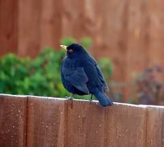 Blackbird in the rain (Dun.can) Tags: garden winter bird melton blackbird rain fence raindrops bokeh