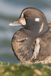 Harlequin Duck Portrait (1st winter male)